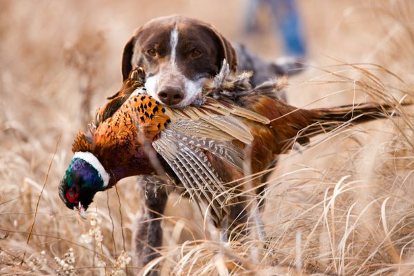 Visit Potter-Tioga Hunting with a bird dog