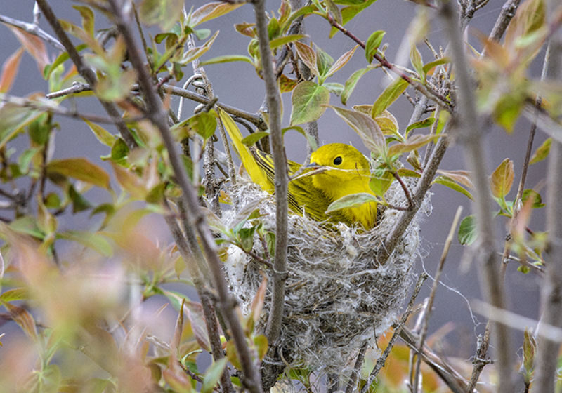 Visit Potter-Tioga Birding with a Yellow Nester
